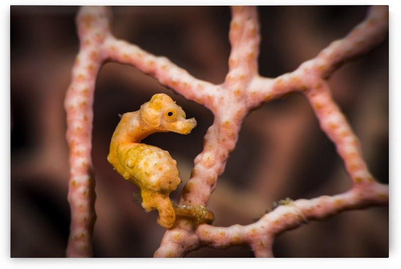 yellow pygmy seahorse by Sylvain Girardot