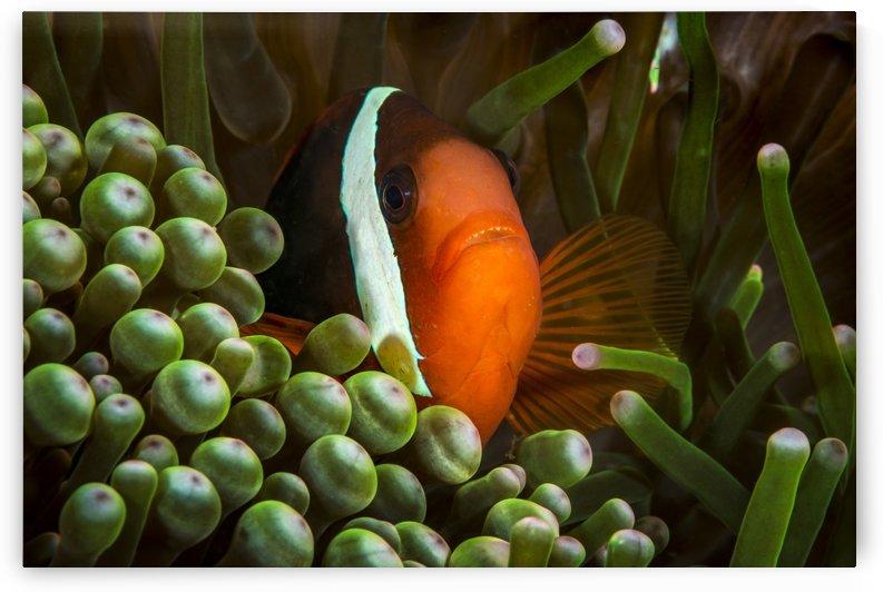 clown fish. 04 by Sylvain Girardot