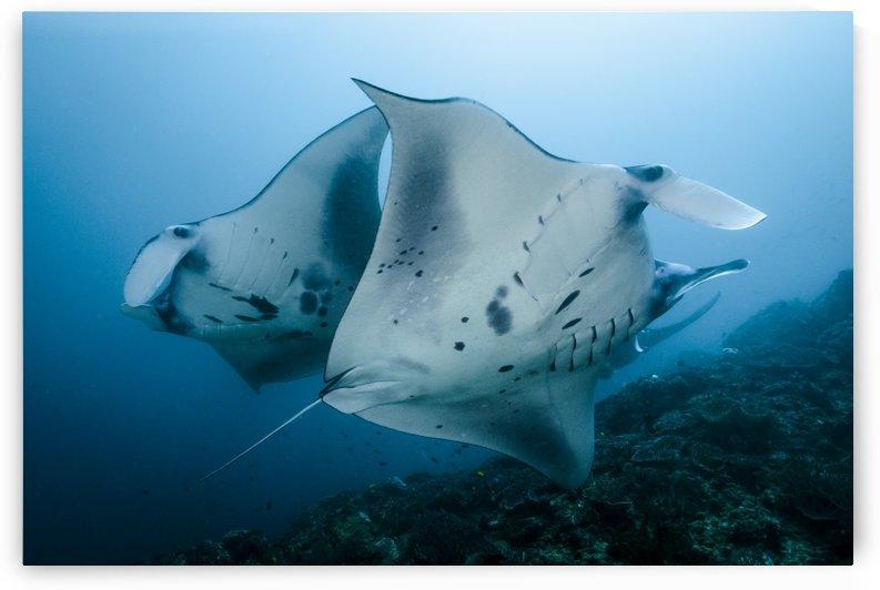 manta ray 01 by Sylvain Girardot