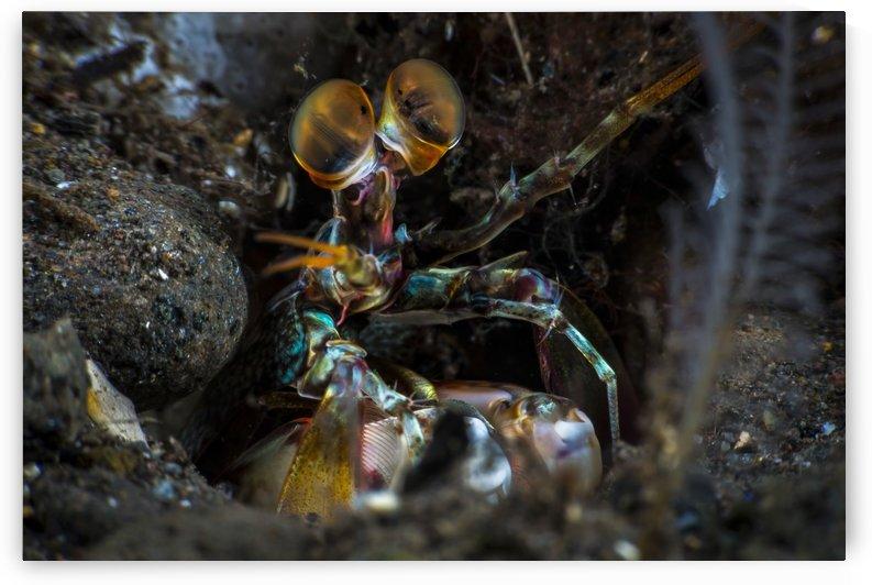 painted mantis shrimp 01 by Sylvain Girardot