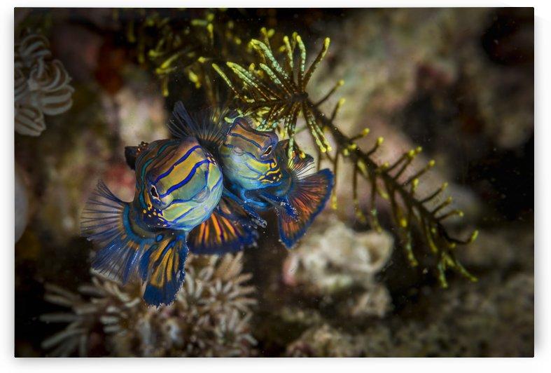mandarinfish by Sylvain Girardot