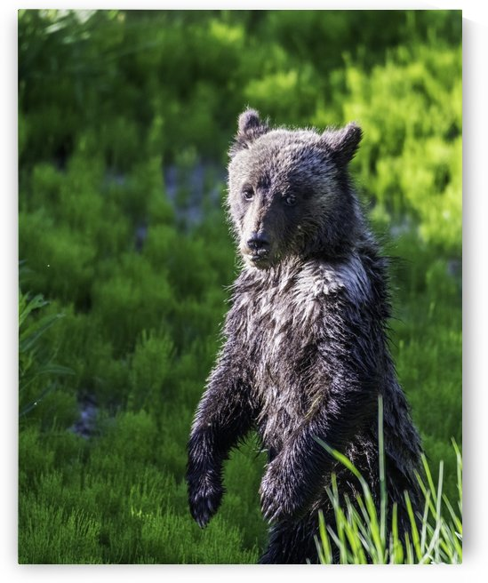 A grizzly cub named Pepper by Daryl L Hunter