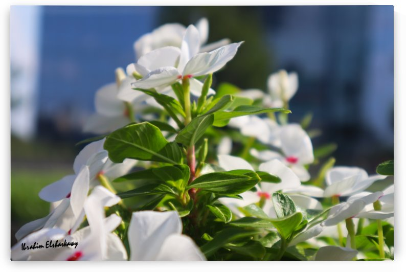 White flower in urban environment by Ibrahim Elsharkawy