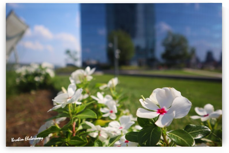 White flower in urban environment by Ibrahim Elsharkawy