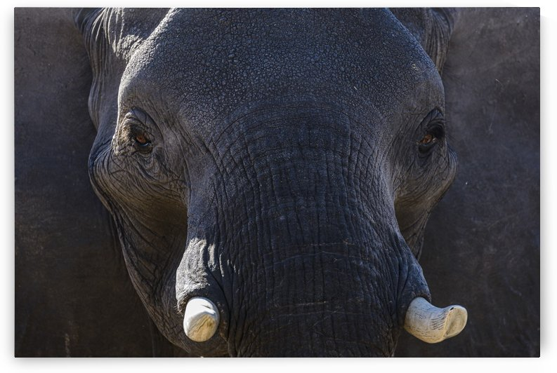 elephant 04 by Sylvain Girardot