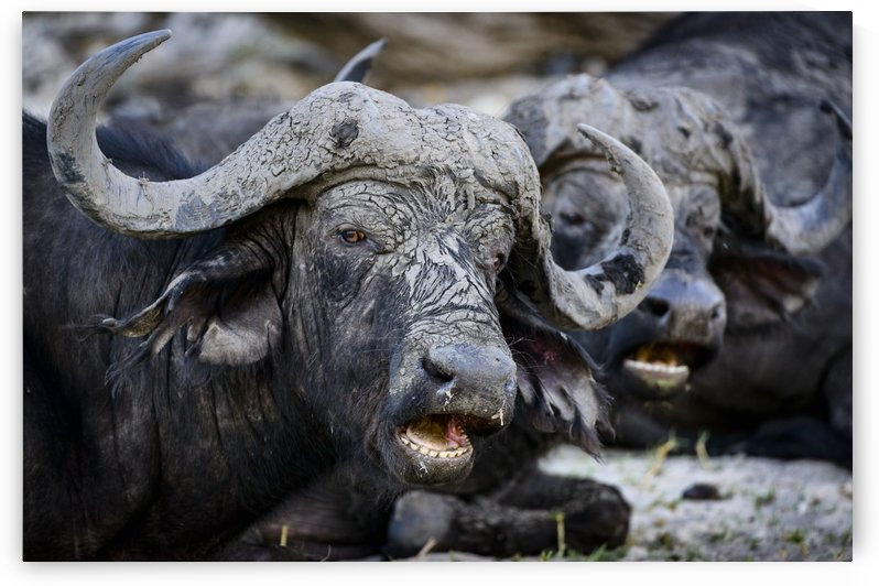 buffalo 02 by Sylvain Girardot