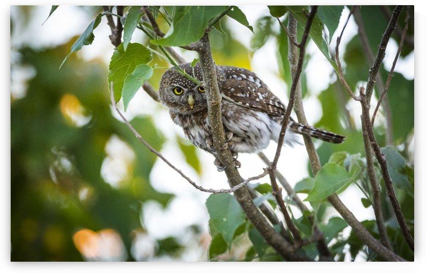 owl 01 by Sylvain Girardot