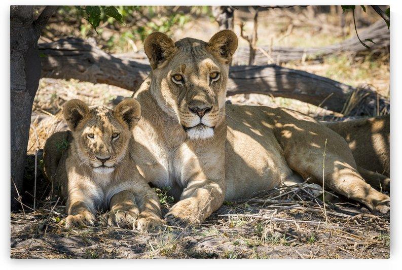 Lion cub 03 by Sylvain Girardot