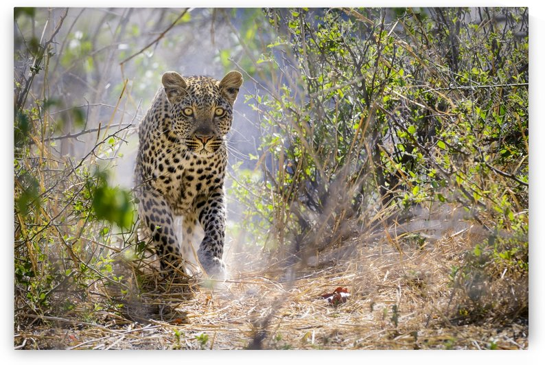 leopard-01 by Sylvain Girardot