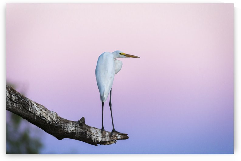 Great egret 02 by Sylvain Girardot
