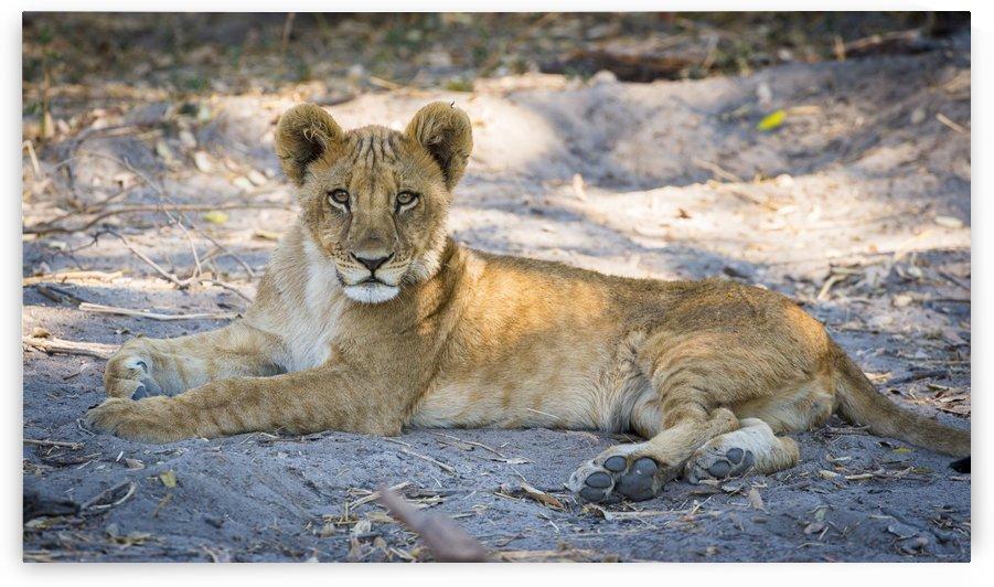 Lion cub 04 by Sylvain Girardot