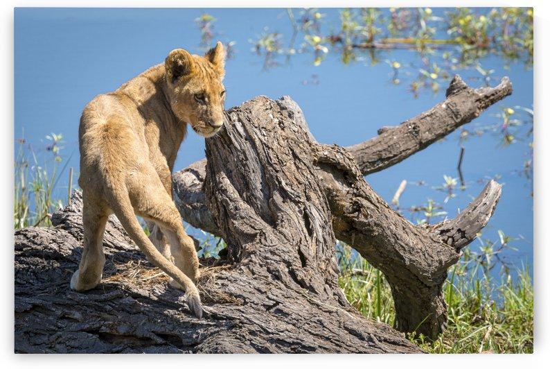 Lion cub 02 by Sylvain Girardot