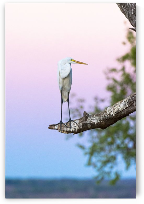 Great egret 01 by Sylvain Girardot