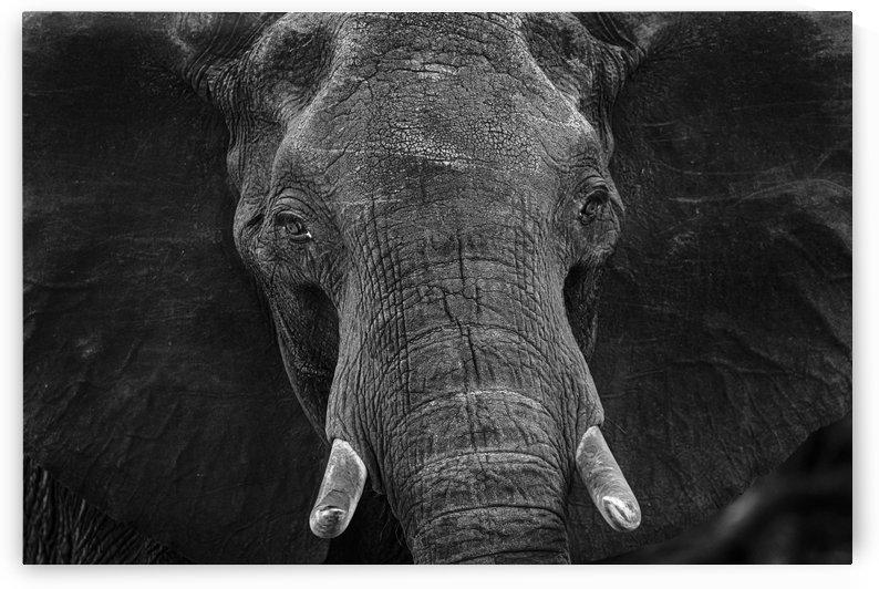 elephant 03 by Sylvain Girardot