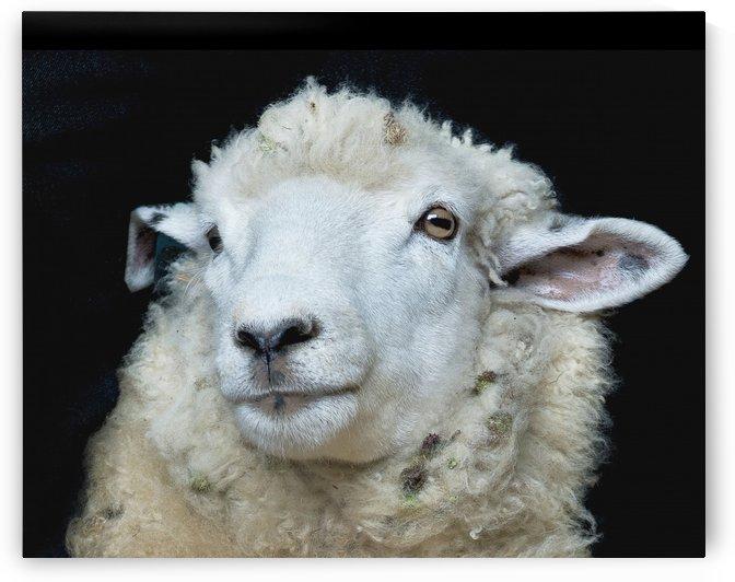 Happy Sheep 488 by Matthew Lerman