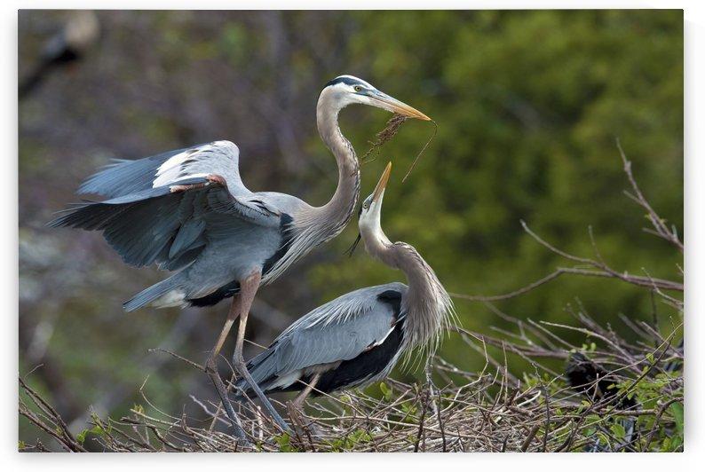 Courtship : Great Blue Herons 110 by Matthew Lerman