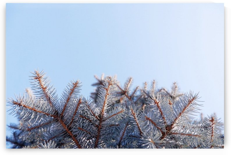 Winter Pines by After The Shutter Photography