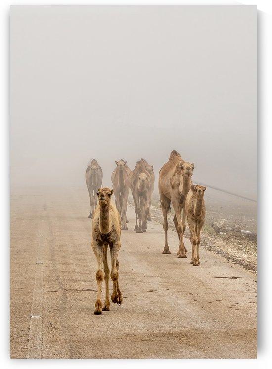 camels-Oman by Khalid Al Kharusi Photography