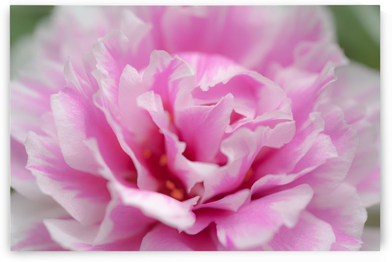 Sweet pink flower by Krit of Studio OMG