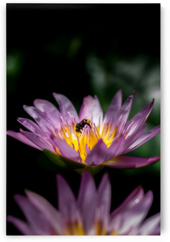 Lotus lily with a bee by Krit of Studio OMG