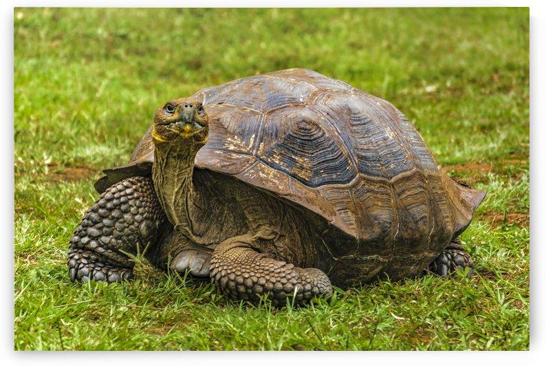 Galapagos Giant Turtle, Ecuador by Daniel Ferreia Leites Ciccarino