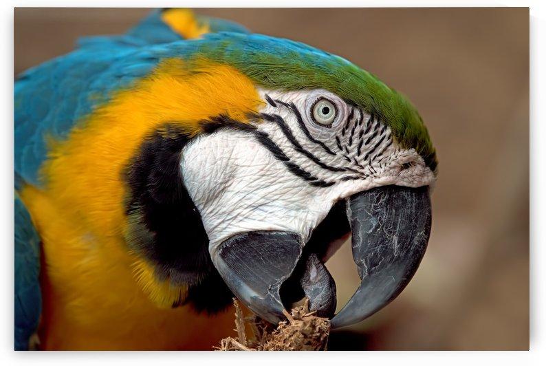 Golden Blue Macaw 2192 by Matthew Lerman