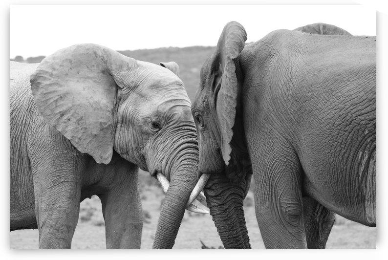 Elephants 9983 by Thula-Photography