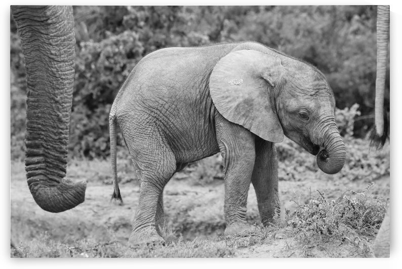 Elephant Baby 62 by Thula-Photography