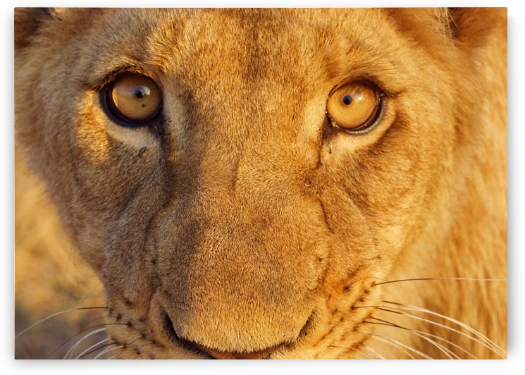 Lion Eyes  by Thula-Photography