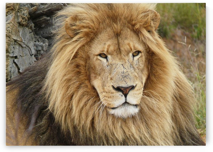 Lion Male 1180494   by Thula-Photography