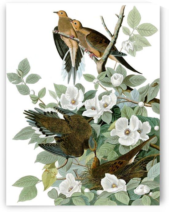 Carolina pigeon by John James Audubon