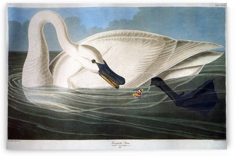 Swan and butterfly by John James Audubon