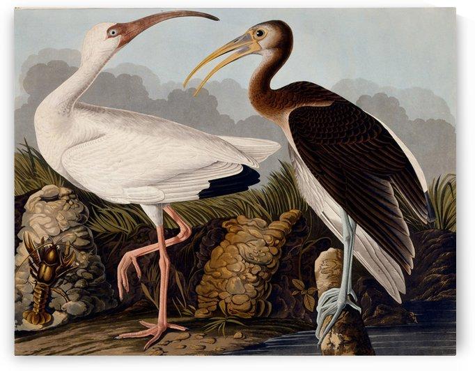 American birds by John James Audubon
