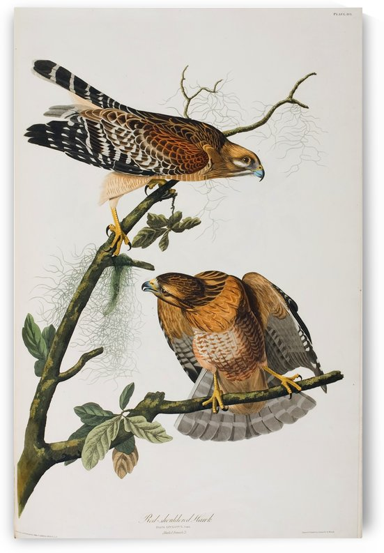American fast speed birds by John James Audubon