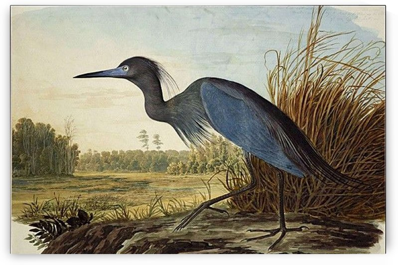 Blue bird by John James Audubon