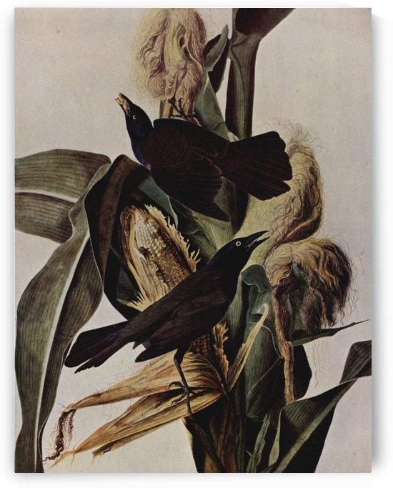 Birds on corn by John James Audubon