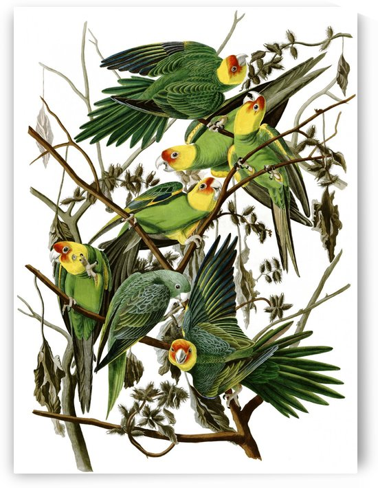 Carolina Parakeet Eastern subspecies by John James Audubon