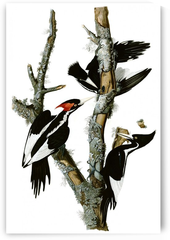 Campephilus principalis by John James Audubon