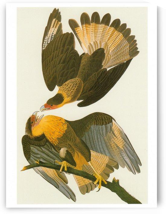Caracara plancus by John James Audubon