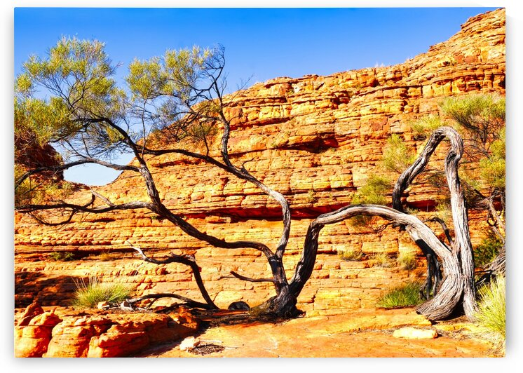 Twisted Tree - Kings Canyon by Lexa Harpell