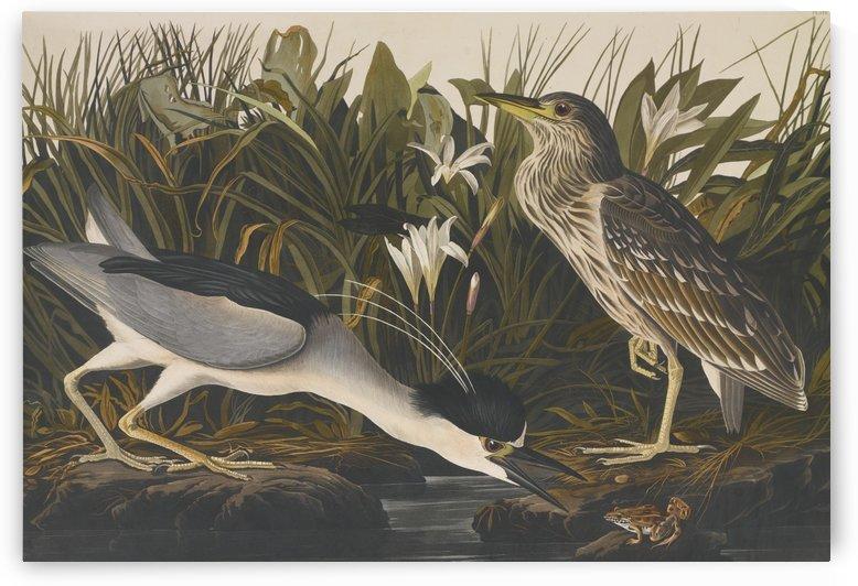 American swamp by John James Audubon