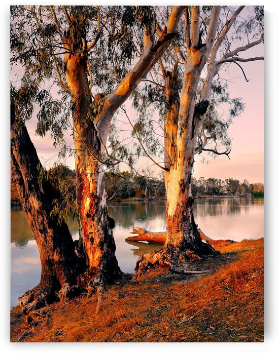 Murray River Gums by Lexa Harpell