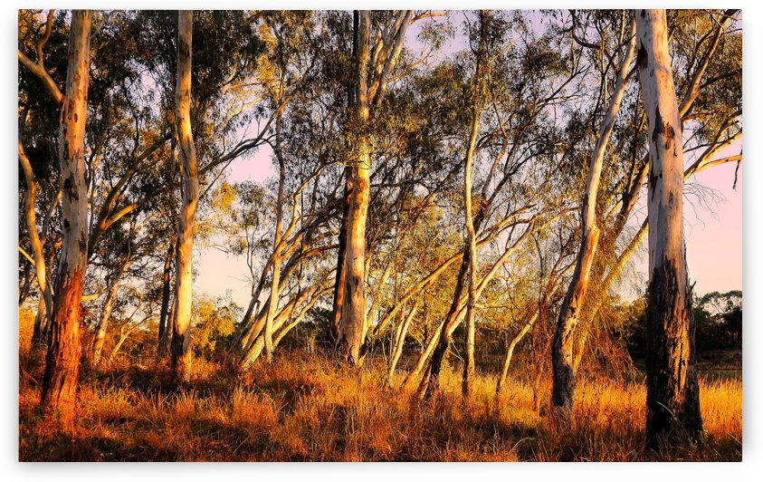 Gums on the Murray River by Lexa Harpell