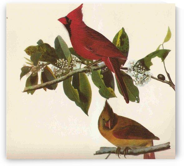 Cardinal bird by John James Audubon