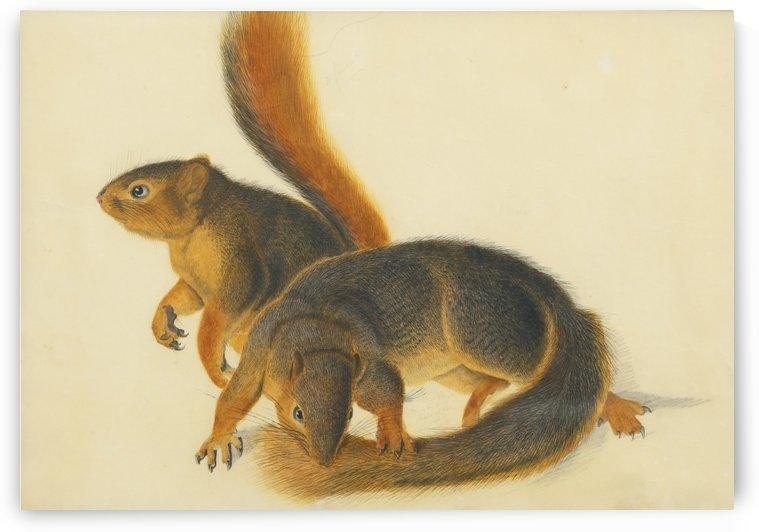 Squirells by John James Audubon