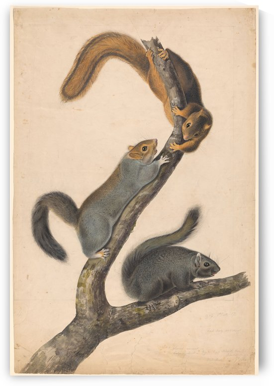 Squirells having fun by John James Audubon