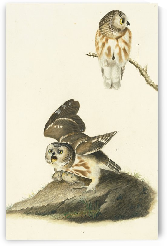 Northern Sawwhet Owls by John James Audubon