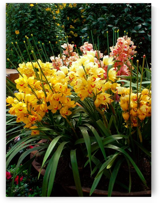 Yellow Orchid Cluster by Shadow and Form