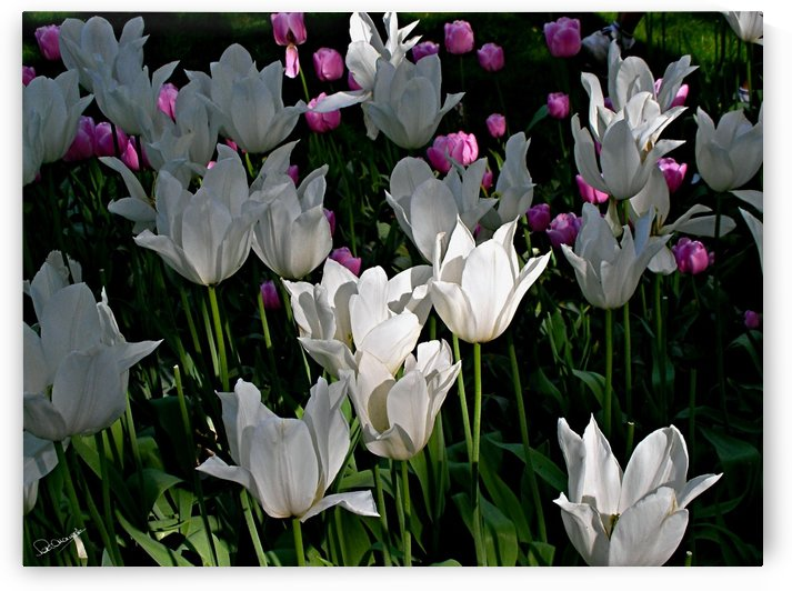 White Tulips by Shadow and Form