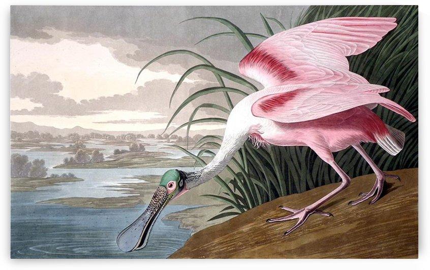 Rare bird by John James Audubon